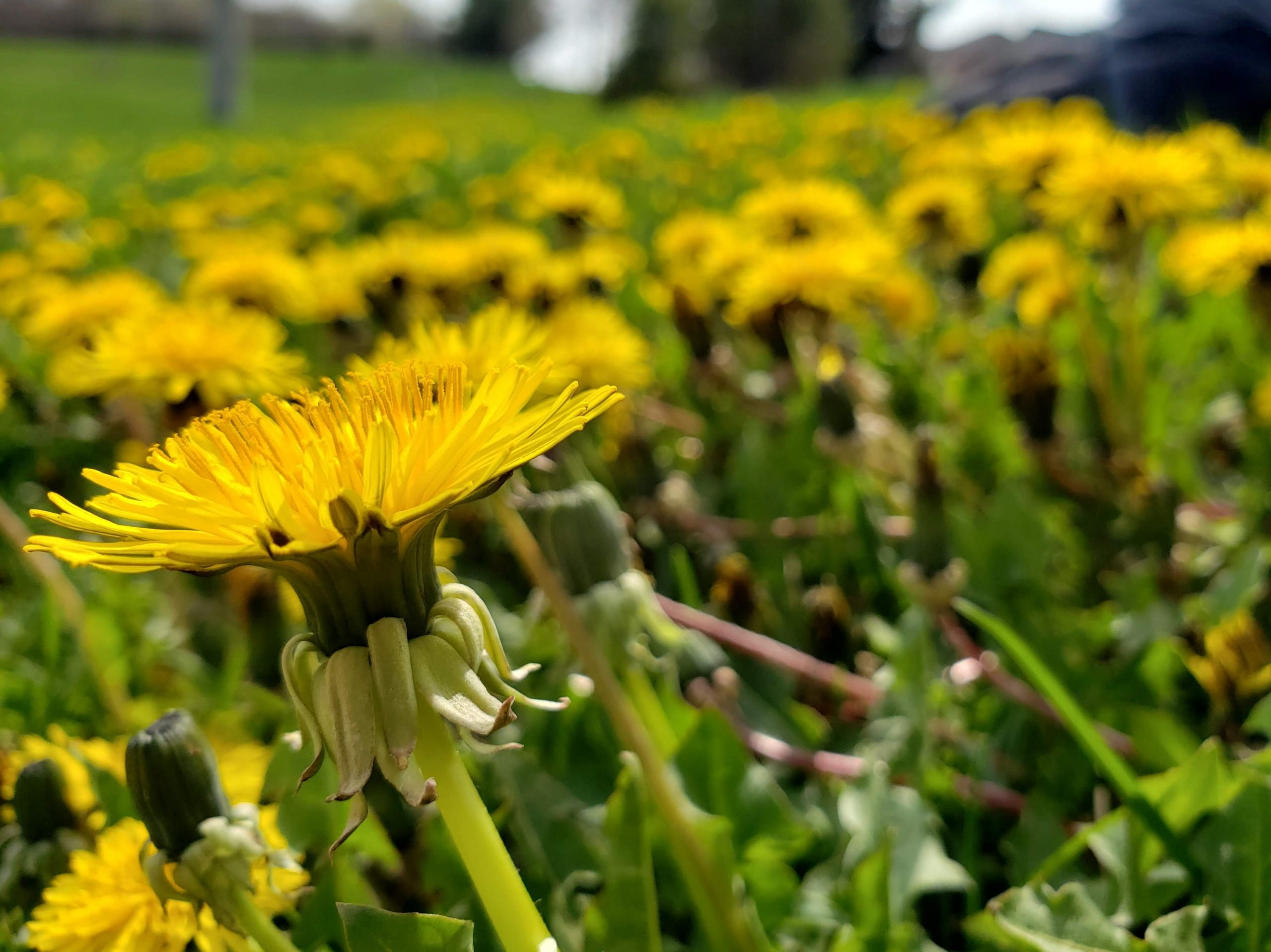 dandelions led to a mindset shift with openness and curiosity